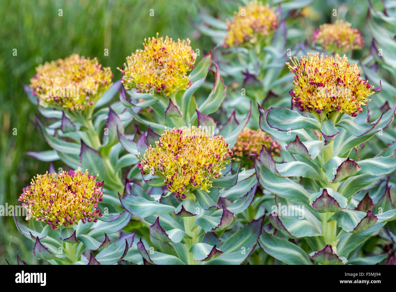 golden root rhodiola rosea user reviews
